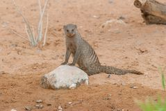 Banded mongoose (Mungos mungo). Banded mongoose (Mungos mungo) marking a small rock in a natural habitat Royalty Free Stock Image
