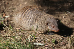 Banded mongoose (Mungos mungo colonus). Royalty Free Stock Images