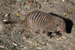 Banded mongoose (Mungos mungo colonus). Stock Photo