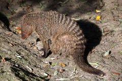 Banded mongoose (Mungos mungo colonus). Stock Image