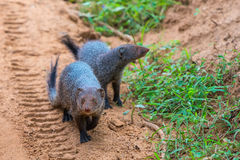 Banded mongoose Mungos mungo colonus. Wild life animal. Yala, Royalty Free Stock Photography