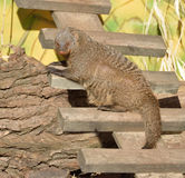 Banded mongoose Mungos mungo. Is mongoose commonly found in central and eastern parts of Africa Royalty Free Stock Photo