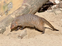 Banded mongoose (Mungos mungo) Royalty Free Stock Photo