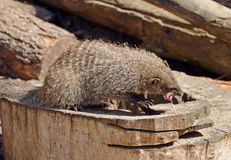 Banded mongoose Mungos mungo eats white mouse. Banded mongoose Mungos mungo is a sturdy mongoose with a large head, small ears, short, muscular limbs and a long Royalty Free Stock Photography