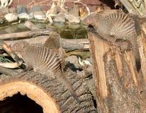 Banded mongoose Mungos mungo Stock Photos