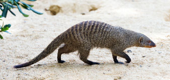 Banded mongoose. (Mungos mungo) on the ground Stock Image
