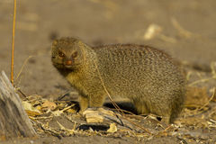 Banded mongoose. Or Mungos mungo looking to camera photographed in Chobe National Park Botswana, Africa Stock Image