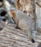 Banded mongoose Mungos mungo. Portrait. Banded mongoose Mungos mungo is a sturdy mongoose with a large head, small ears, short, muscular limbs and a long tail Stock Photos