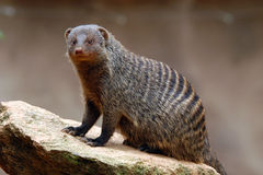 Banded mongoose. (Mungos mungo) at the rock Royalty Free Stock Photos