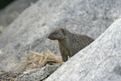 Banded mongoose, Mungos mungo Royalty Free Stock Images