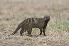 Banded mongoose, Mungos mungo Stock Photography