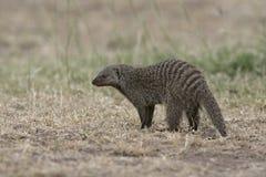 Banded mongoose, Mungos mungo Stock Image