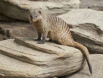 Banded mongoose (Mungos mungo) Royalty Free Stock Photos