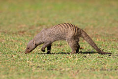 Banded mongoose Stock Photography