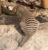 Banded mongoose (Mungos mungo). Banded mongoose is sturdy mongoose with large head, small ears, short, muscular limbs and long tail, almost as long as rest of Stock Photography
