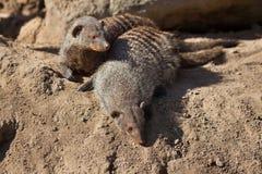Banded mongoose (Mungos mungo). Royalty Free Stock Photo