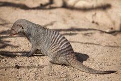 Banded mongoose (Mungos mungo). Stock Photography