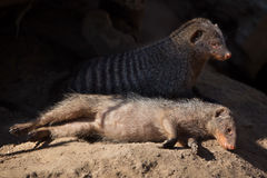 Banded mongoose (Mungos mungo). Royalty Free Stock Images