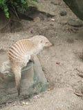 Banded mongoose (Mungos mungo), zoo Salzburg Royalty Free Stock Photography