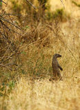 Banded Mongoose. Native to the Kalahari bush veld Stock Photography