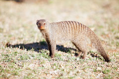 Banded mongoose in nature reserve in South Africa Royalty Free Stock Photo