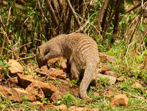 Banded mongoose. One of a large group of banded mongoose forages in the grounds of Madikwe River Lodge in the Madikwe Game Reserve, South Africa Stock Image