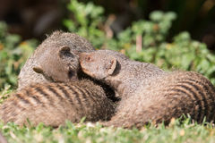 Banded mongoose playing Stock Photo