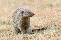 Banded Mongoose Portrait Royalty Free Stock Photos