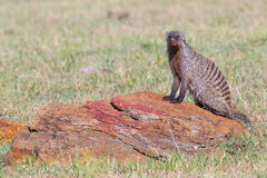 Banded Mongoose Posing On A Rock Royalty Free Stock Images