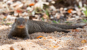 Banded mongoose rest lying flat on sand Stock Images