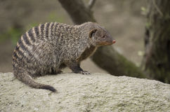 Banded mongoose. On the rock, cute Stock Photography
