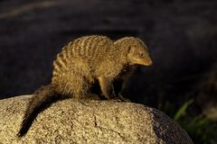 Banded mongoose, Serengeti Stock Photography