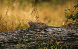 Banded Mongoose. Settled on a large fallen tree trunk Stock Photos