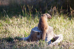 Banded mongoose sitting on dead tree stump Stock Photography