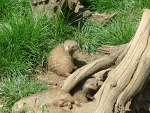 Banded mongoose Royalty Free Stock Photography