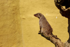 Banded Mongoose. Sitting on a wooden branch looking away from the camera Royalty Free Stock Images