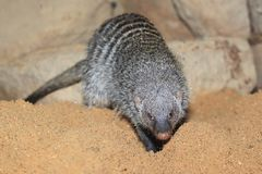 Banded mongoose. In the soil Stock Photos