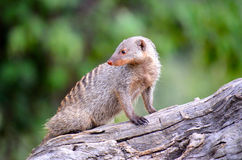 Banded mongoose standing on a log Royalty Free Stock Images