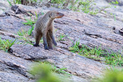 Banded Mongoose Standing On Rugged Rock. A very wary looking Banded Mongoose, standing on rocks, overlooking Olare Orok Conservancy, bordering Masai Mara, Kenya Royalty Free Stock Photo