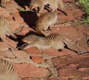 Banded Mongoose stretching Stock Photos
