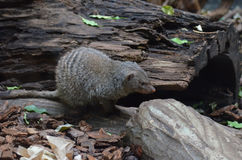 Banded Mongoose with Striping on his Back Stock Images