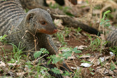 Banded Mongoose - Tanzania, Africa Stock Photos
