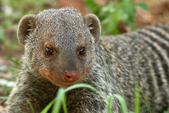 Banded Mongoose - Tanzania, Africa Royalty Free Stock Images