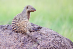 Banded Mongoose On Top Of Termite Mound. Banded Mongoose sitting on top of Termite mound, keeping watch over Masai Mara, Kenya. When they cannot get up high to Stock Photography