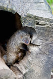 Banded Mongoose. In a tree trunk Royalty Free Stock Photography