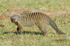 Banded Mongoose Walking Across Savanna. This Banded Mongoose has a single paw raised, while walking through Olare Orok Conservancy, Kenya. Normally, very Stock Image