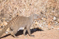 Banded mongoose walking in dry veld Stock Images