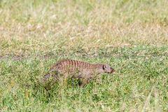 Banded mongoose. Walking in the grass on the savanna Stock Photography