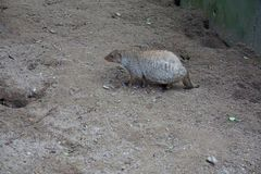 Banded mongoose walking in the sand. Photo of a banded mongoose walking in the sand Royalty Free Stock Photo