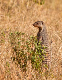 A Banded Mongoose Watchman. Banded Mongooses (Mungos mungo) always keep one or more guards on alert to ensure the security of the whole clan. In an upright Royalty Free Stock Photo